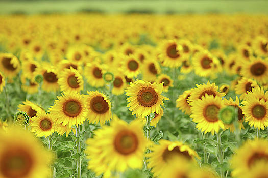 Sunflower Field by Angelina Hills