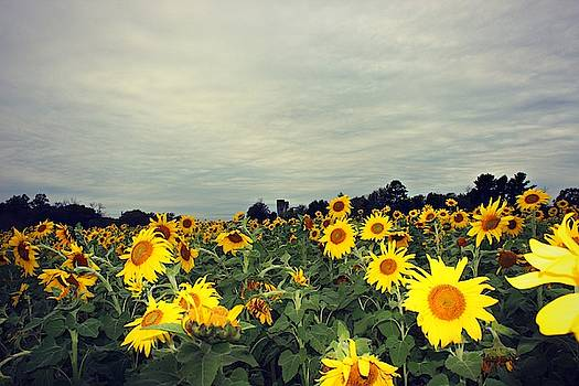 Sunflower Fields by Candice Trimble