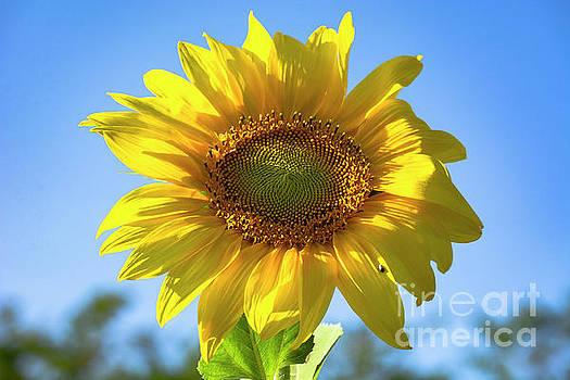 Sunflower Head by Morris Keyonzo