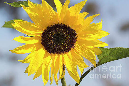 Sunflower Hitchhiker by Shawn Jeffries