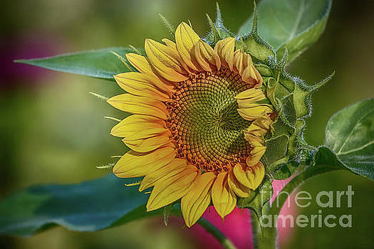 Sunflower of Summer by Warrena J Barnerd