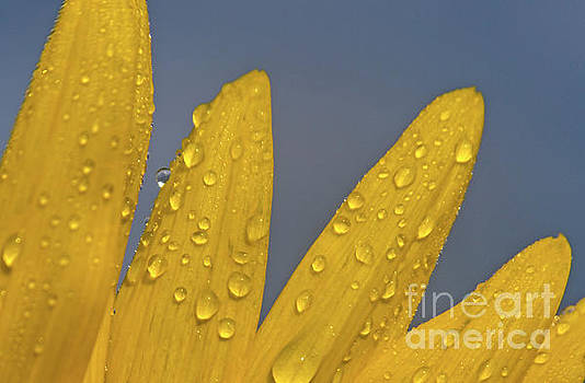 Sunflower Petals by Geraldine DeBoer