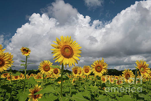 Dale Powell - Sunflower Sk - Boone Hall Plantation