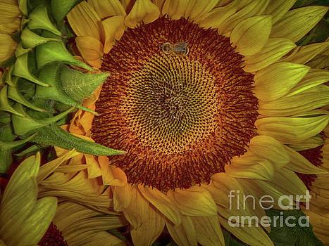 Sunflower Splendor by Judy Hall-Folde