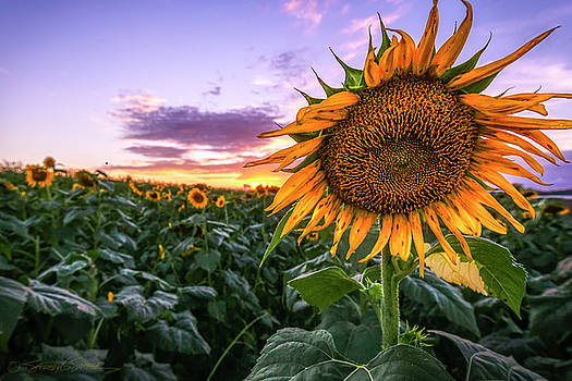 Sunflower Sunset at Sykes Farm by Stacey Sather