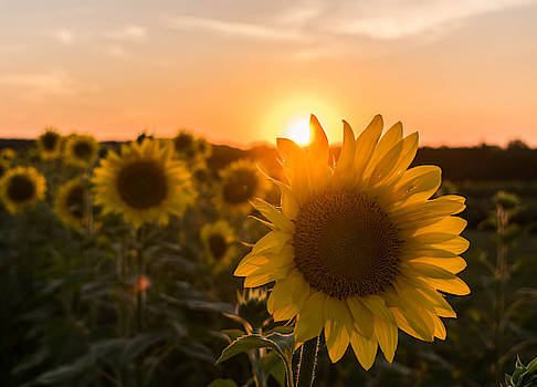 Sunflower Sunset by Tailor Hartman