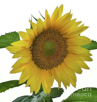 Cindy Treger - Sunflower To Cheer You