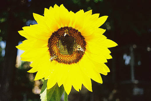 Sunflower with Three Bees by FD Graham