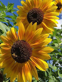 Sunflowers by Daniele Smith