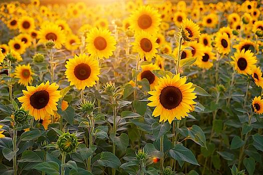 Sunflowers field by Top Wallpapers