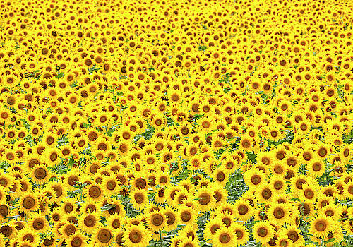 Sunflowers Galore by Denise Bush