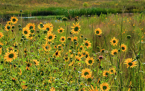 Sunflowers in a Pasture by Mark Dahmke