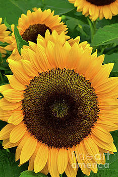 Regina Geoghan - Sunflowers in Gold and Green