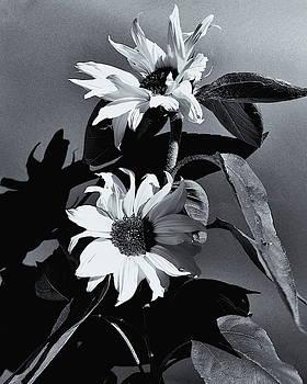 Sunflowers Monochrome by Jeff Townsend