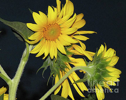 Cindy Treger - Sunflowers On Black