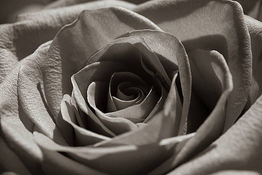 Sunlight and Rose by Bruce Davis