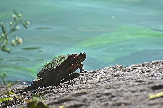 Corinne Rhode - Sunning Turtle
