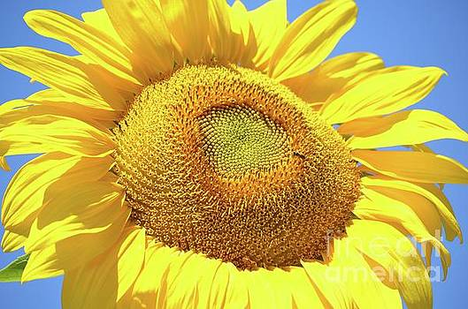Sunny Sunflower  by Deb Cawley