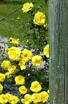 Sunny Yellow Roses by Will Borden