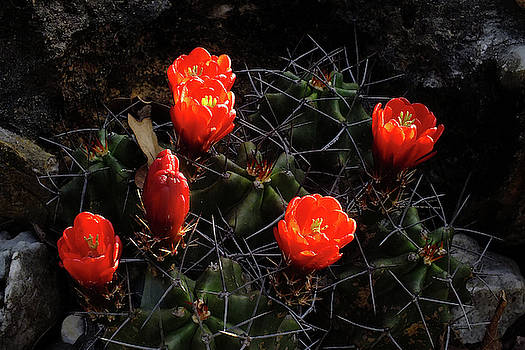 Sunset Cactus by Bill Morgenstern