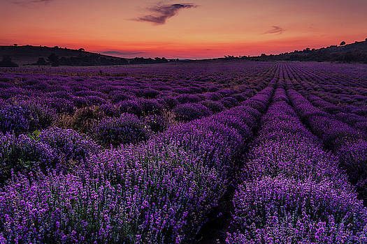 Sunset Lavender by Evgeni Dinev