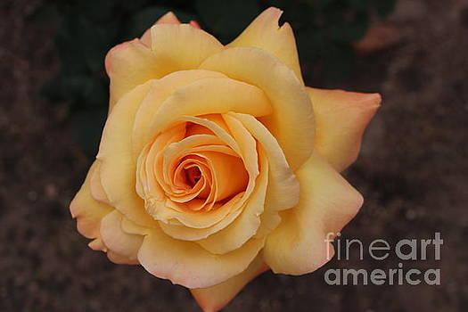 Sunshine Rose by Katherine Erickson
