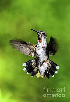 Cindy Treger - Supermodel Ruby-throated Hummingbird