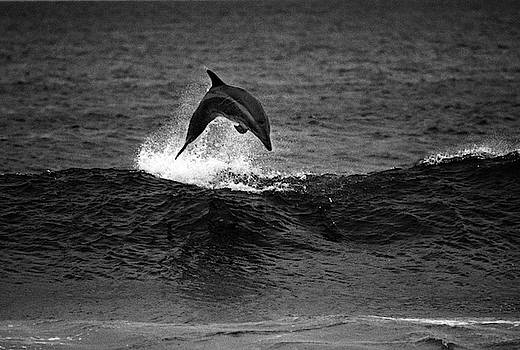 Surf Dolphin by Bruce Herman