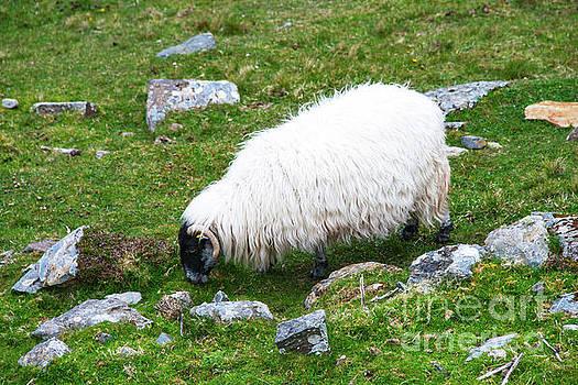 Bob Phillips - Swaledale Sheep
