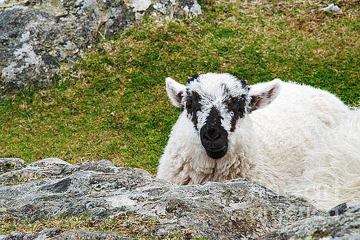 Bob Phillips - Swaledale Spotted Faced Sheep