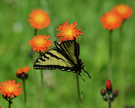 Swallowtail and Hawkweed by Whispering Peaks Photography