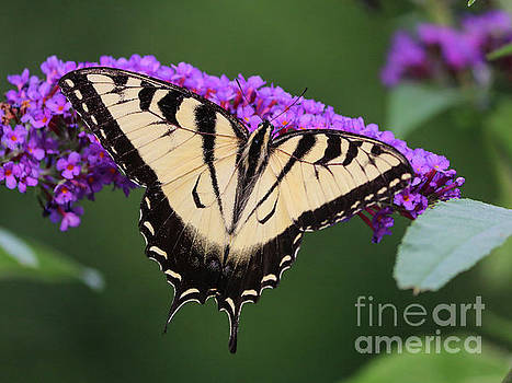 Swallowtail butterfly by Claudia M Photography