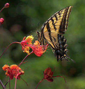 Swallowtail butterfly by Mark Langford