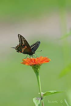 Swallowtail on Zinnia by Diane Giurco