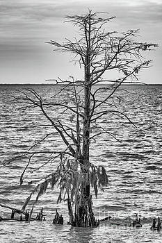 Swamp Cypress by Dale Powell