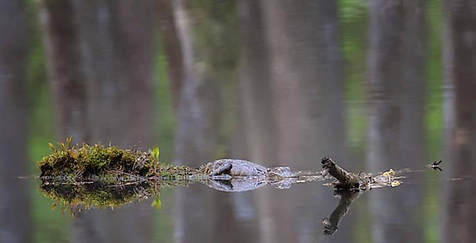 Susan Rissi Tregoning - Swamp Dreams