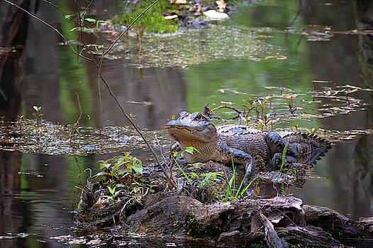 Susan Rissi Tregoning - Swamp Gator
