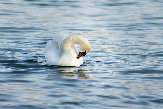 Swan by Christine Sponchia
