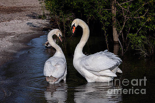 Swan Courtship Dance by Alma Danison