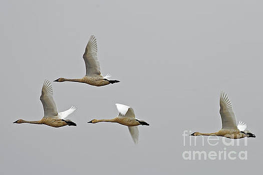 Swan Flight by Natural Focal Point Photography