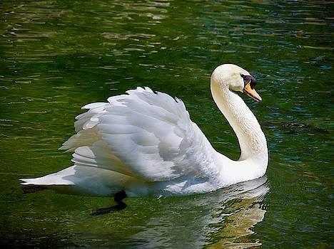 Swan floating on the waterin Vorontsovsky park in Crimea by Tamara Sushko