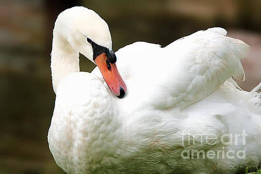 Swan by Geraldine DeBoer