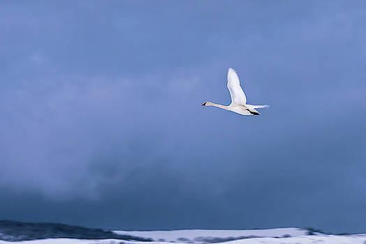 Swan in Flight by Barbara Hayton