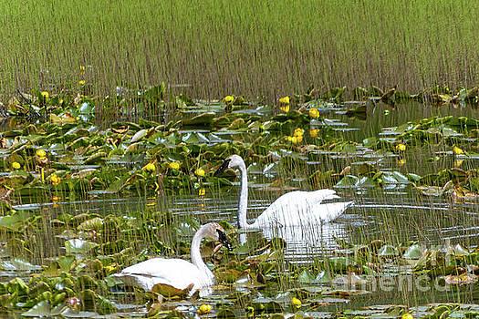 Swan Pair by Bernita Boyse