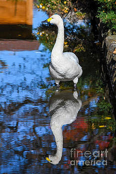 Swan Reflections by SoxyGal Photography