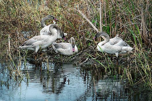 Swan Sibs by Jayne Gohr