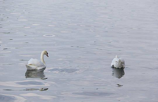 Swan Study 01 by Teresa Mucha