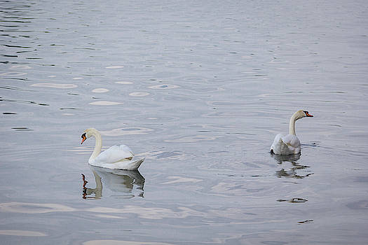 Swan Study 02 by Teresa Mucha