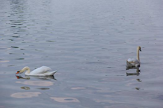 Swan Study 03 by Teresa Mucha