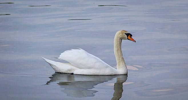 Swan Study 05 by Teresa Mucha
